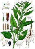 Sesame-botanique