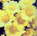 Chrysanthellum1